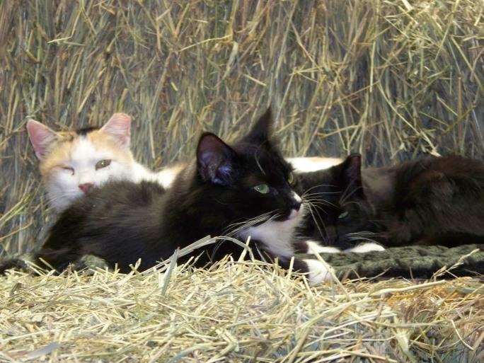barncats