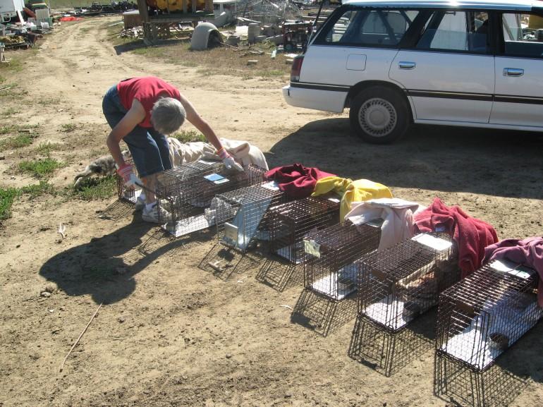 Volunteer returning cats